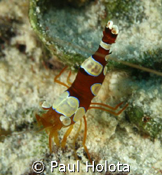 Ambon Cleaner Shrimp. Bonaire. Canon XTi 100mm. by Paul Holota